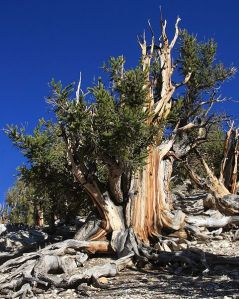 Bristlecone Pine grove, White Mountains Nvada