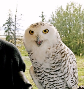 Snowy Owl USFWS Potters Field Alaska