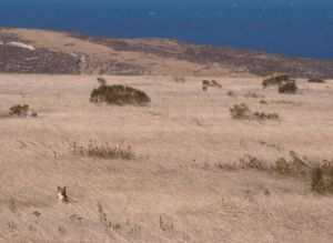 Channel Island Fox (Urocyon littoralis)