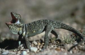 Collared Lizard USFWS