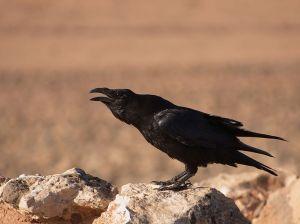 Common Raven  WIKI