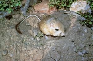 Kangaroo Rat USFWS