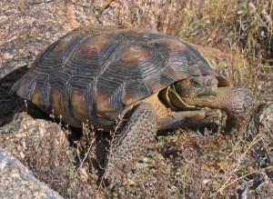 Desert Tortoise Sonoran morafkai