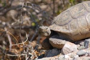 Desert Tortoise Agassizii