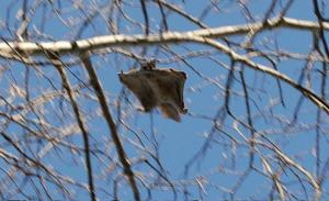 Flying Squirrel Northern