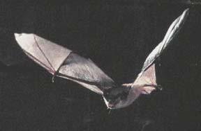Gray Bat USFWS