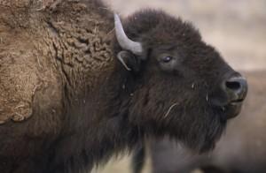 Bison needs brushing USFWS