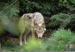 Gray Wolf BLM  Montana