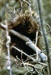 Porcupine WIKI NPS