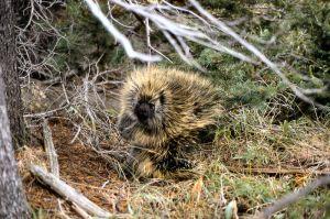 Porcupine WIKI NPS1