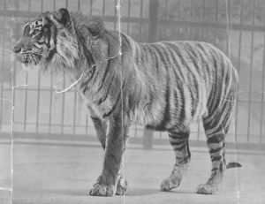 Extinct Panthera tigris sondaica WIKI