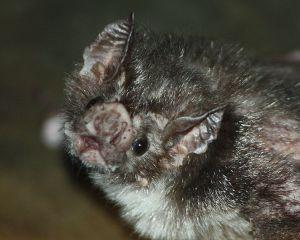 Common VampireBat Louisville Zoo WIKI