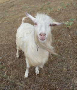 Domestic goat WIKI