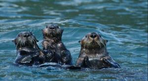 Sea Otters NPS