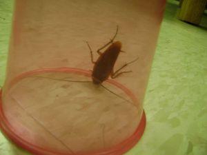 American Cockroach WIKI