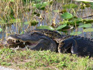 Alligator and Python  NPS WIKI