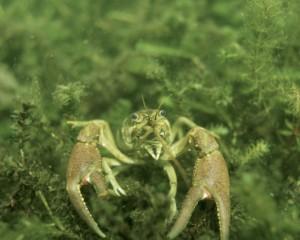 crayfish USFWS