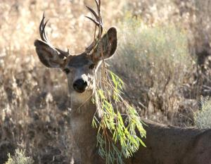 mule deer hide seek USFS