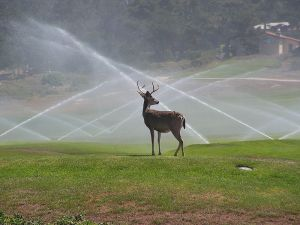 Pebble Beach Deer WIKI
