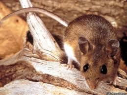 Deer Mouse UCAR