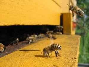 Honeybee WIKI