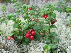 Lingonberry WIKI