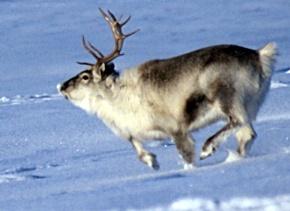 Reindeer run WIKI