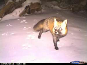 Sierra Red Fox  USFS