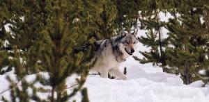 Wolf snow NPS