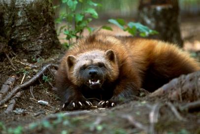 Wolverine NatGeo Alaska stock images