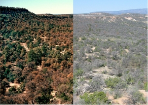 This isn't a special effect, it's the same forest:  Healthy, on the left; two years later heat-and climate-stressed, on the right.