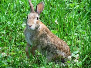 Cottontail curious WIKI