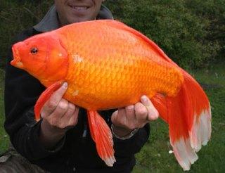 Giant goldfish kaempe_guldfisk WIKI