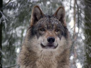 Gray Wolf face WIKI