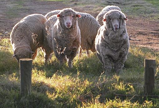 sheep | ecovia