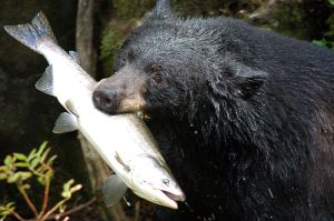 Trying to keep with his diet, Black Bear decided to stick with salmon and not load up on rice.