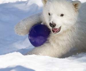 'Kali at Play'  John Gomes   Alaska Zoo, USFWS