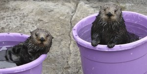 Trying to avoid toxic cat poop, Ivy and Kit Sea Otter tried out the 'Mini-Ocean 6000'.   It was something they had on their bucket list.