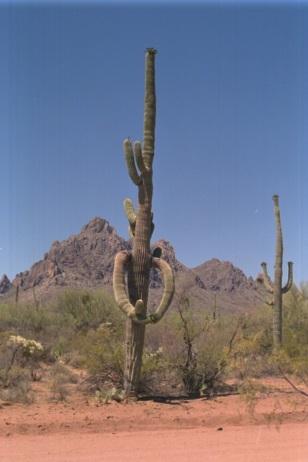 Saguaro hug BLM