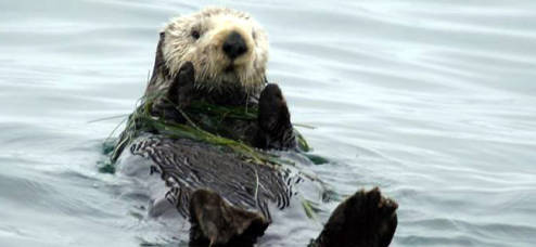 Some sea otters like a little salad with their dinner.  Others, not so much.