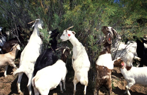 Sometimes tamarisk is a challenge to even the best-organized team of goats.
