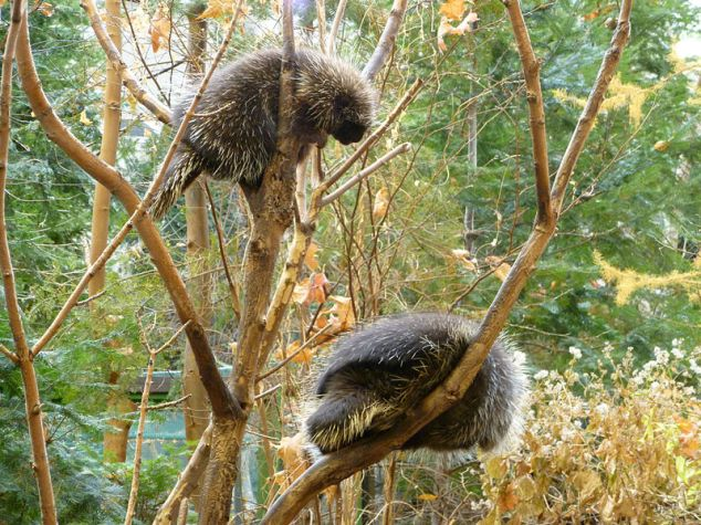 It's unusual to see more than one porcupine at a time, so a Prickle of Porcupines is rare event.   But one porcupine is usually prickly enough.