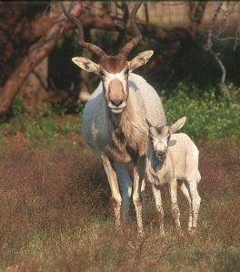 The Addax antelope  (Addax nasomaculatus);