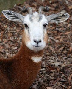 Dama gazelle (Gazella dama).  We are, the Three Amigos!
