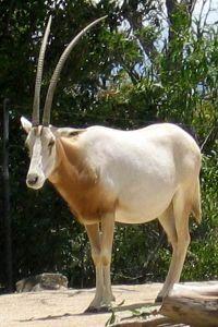 Scimitar-horned oryx (Oryx dammah)