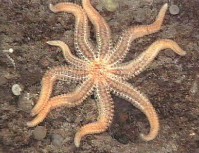 Most Sea Stars have five legs.  Others are just show-offs.