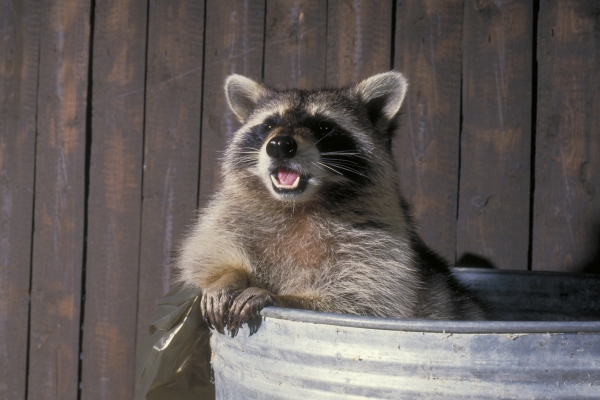 'Huh?  I'm just a Racc...Uh, I'm the Monster from the Trash Barrel!  You will give me all your food scraps! Don't be confused by my fuzziness!""