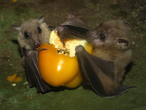 Most bats hunt for insects.  Others like to hit the salad bar first.