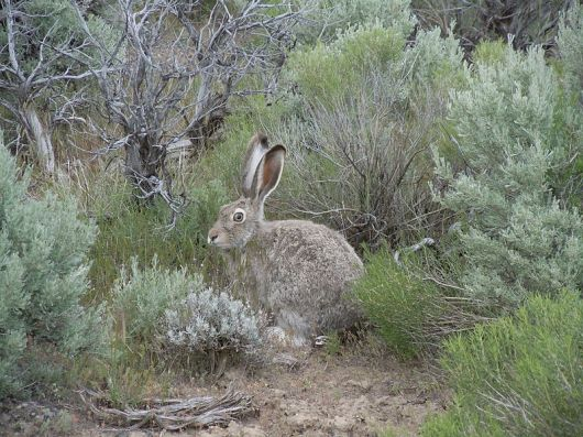 This is not a Greater Sage Grouse.  It's a Jackrabbit.  But he wants everyone to know he lives in the sage too and those Grouses shouldn't get all the fame and attention.  So there.