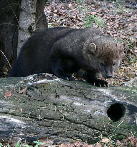 These little guys, the Pacific Fisher, are being killed by poisons set around illegal marijuana farms.